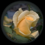 Yellow Dream Rose